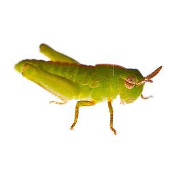 Unidentified juvenile grasshopper, found in Rye, New Hampshire.