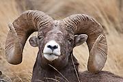 Rocky Mountain Bighorn Sheep (Ovis canadensis)trophy ram portrait