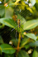 Golden Orb Spider in afternoon light