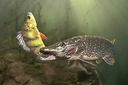 Northern Pike (eating a yellow perch)<br /> <br /> Viktor Vrbovsky/Engbretson Underwater Photography