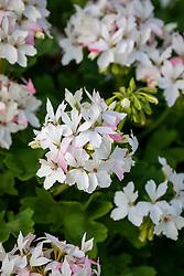 Geranium Summer Twist 'White'