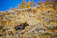 Moose, Grand Teton National Park, Wyoming USA