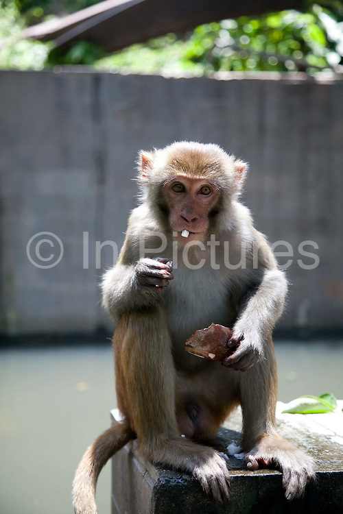 One of the many monkeys at the Swayambhunath temple complex, also called the Monkey Temple eating a bit of coconut given to it by a tourist.