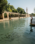 Sacred fish pond also known as pool of Abraham.