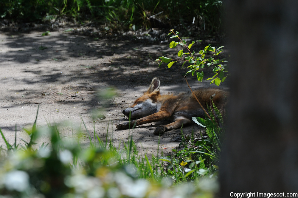 Fox sleeping, spring<br /> *ADD TO CART FOR LICENSING OPTIONS*
