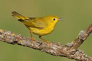 American Yellow Warbler - Setophaga petechia - Adult female