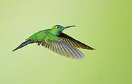 Green-crowned Brilliant Hummingbird, Heliodoxa jacula