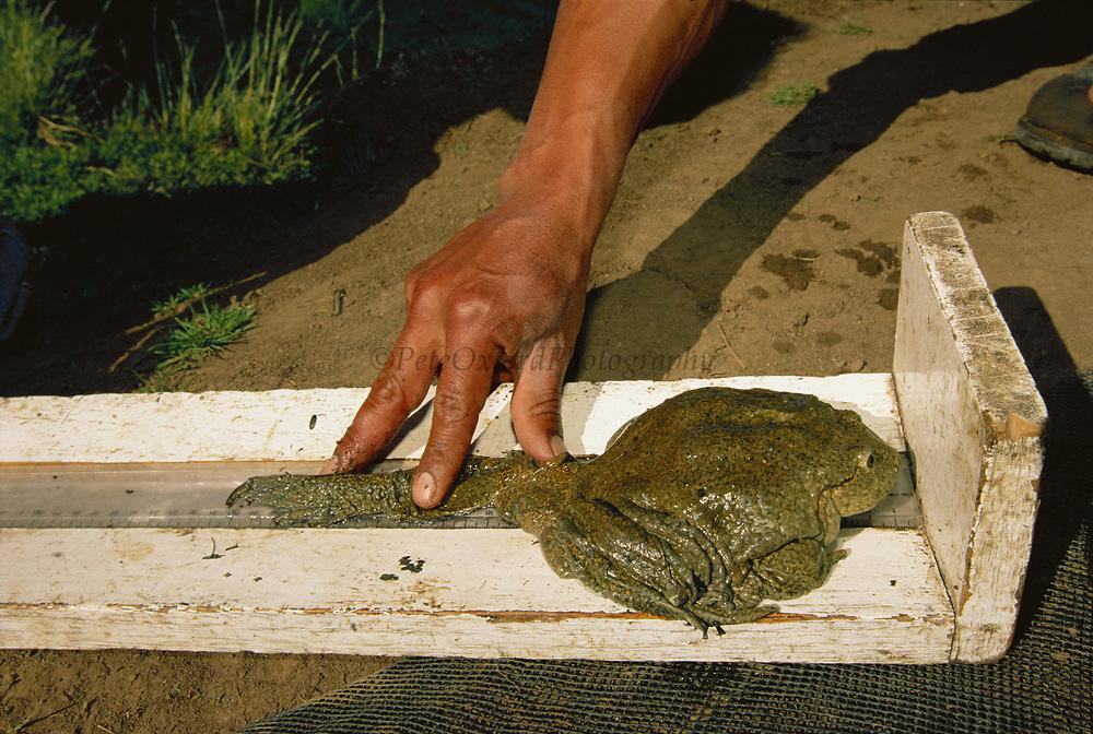Giant Titicaca Frog being measured<br />Telmatobius culeus<br />Lake Titicaca. border BOLIVIA AND PERU.  South America<br />Carlos Calmet's projetc