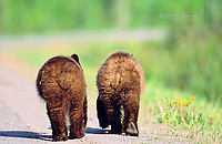 A pair of grizzly bear cubs walking down a road, BC Rockies, Canada