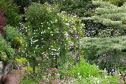 Rosa 'Sander's White' on a pergola in Alice's garden at Glebe Cottage