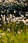 Alaska. Cotton grass (Eriophorum sp.)