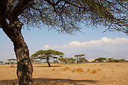 Acacia Tree in African plains