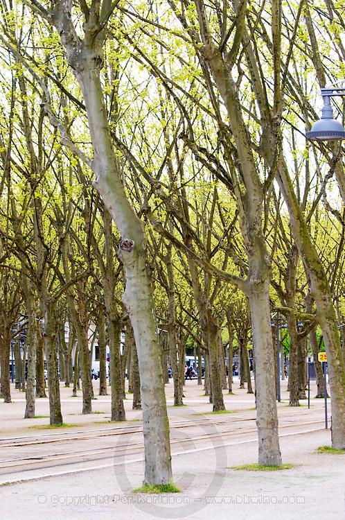 esplanade des quinconces plane trees bordeaux france