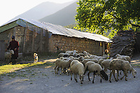 Driving the flock of sheep out in the morning. Lesser Lake Prespa, Lake Prespa National Park, Albania June 2009