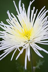 Chrysanthemums 'Spider White'