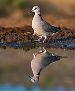 Ring-necked dove (Streptopelia capicola) from Zimanga, South Africa.