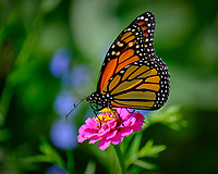 Monarch Butterfly on a Pink Zinnia Flower. Image taken with a Fuji X-T3 camera and 100-400 mm OIS telephoto zoom lens (ISO 200, 400 mm, f/5.6, 1/500 sec).