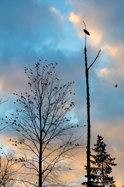 An American crow (Corvus brachyrhynchos) perched at the top of a snag watches over hundreds of others that are perched in the trees along North Creek in Bothell, Washington. An estimated 10,000 crows roost in a small area of the city each night.