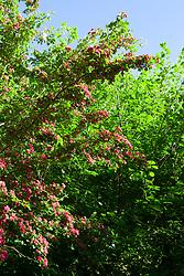 Crataegus laevigata 'Paul's Scarlet' AGM - Hawthorn in blossom