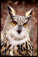 European eagle owl at the Raptor Rehabilitation and Propagation Projct @ Tyson Rsrch Cntr;Eureka Missouri
