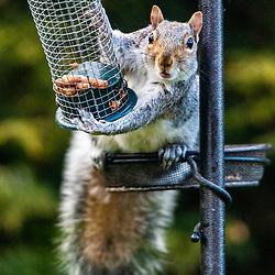 Grey Squirrel in garden, Falkirk 29/4/2021