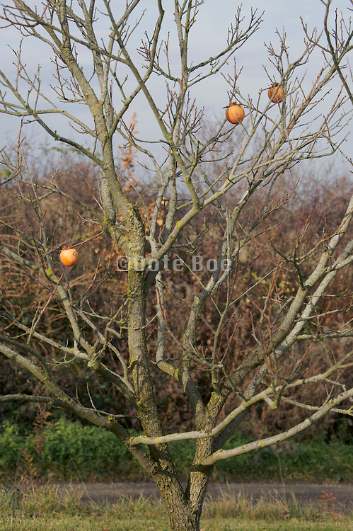 close up of a fruit tree in late fall early winter