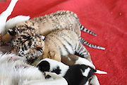 CHINA - DECEMBER 22:  China Out - Finland Out<br /> <br /> Dog Gives Milk To Tiger Cubs<br /> <br /> A dog gives suck to three children and two newborn tigers at Hangzhou Safari Park  in Hangzhou, Zhejiang province of China. The two female Siberian tiger cubs were born on November 10 and were abandoned by their mother. <br /> ©Exclusivepix