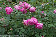 Rosa 'Royal Jubilee' an Englsih shrub rose bred by David Austin - September