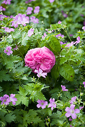 Rosa 'Baronne Prevost' with pink geranium in the Big Border at Manor Farm House