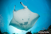 reef manta ray, Manta alfredi (formerly Manta birostris ), at coral reef cleaning station, showing spot pattern on underside, which is unique to each individual, Dharavandhoo Thila, Baa Atoll, Maldives ( Indian Ocean )