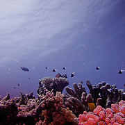 Red corals on the Great Barrier Reef