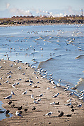 Thousands of birds along the coast of the Salton Sea at the Sonny Bono Salton Sea National Wildlife Refuge, CA. The sea is part of the migration path called the Pacific flyway.