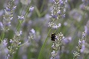 A White-tailed bumblebee Bombus lucorum visits a lavender plant in a suburban garden south London, on 7th August 2019, in London, England.