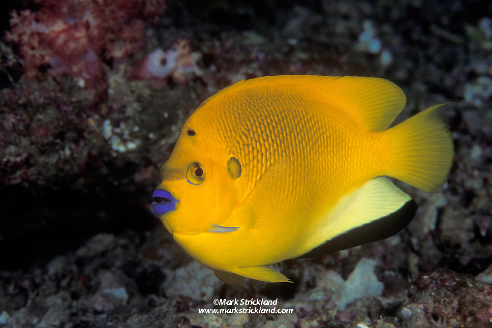 Showing off its attractive blue lips, a Three Spot Angelfish, Apolemichthys trimaculatus, peers out at from a rocky crevice.  Similan Islands Marine National Park, Andaman Sea, Thailand