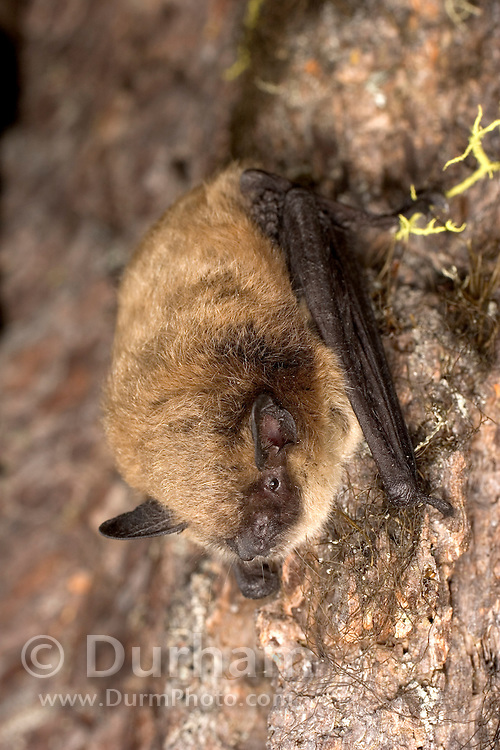 Portrait of a Yuma myotis (Myotis yumanensis) in the Rogue River National Forest, Oregon.
