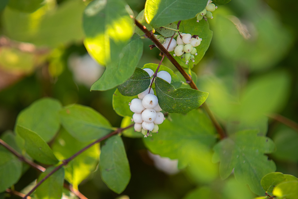 Ranging from toxic to poisonous to humans and several species of animals - particularly fish, the common snowberry is an important food source for wildlife. Moose, elk, deer, bighorn sheep, and pronghorns will readily eat the foliage, while bears birds, rabbits and other small mammals can safely eat the waxy white berries. This snowberry bush was found growing next to the Green River about 20 miles south of Seattle, Washington on a warm summer day.