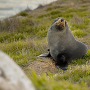 New Zealand Fur Seal on Otago Peninsula