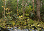 Colorful vine maple brings color to the deep forests of Oregon along the Little North Santiam River