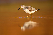 Marsh Sandpiper (Tringa stagnatilis) wading in the water. Photographed in Ein Afek Nature Reserve, Israel in November
