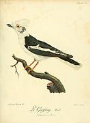 Geoffroy from the Book Histoire naturelle des oiseaux d'Afrique [Natural History of birds of Africa] Volume 2, by Le Vaillant, François, 1753-1824; Publish in Paris by Chez J.J. Fuchs, libraire 1799