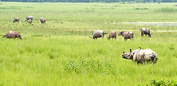 June 5, 2017 - Guwahati, India - Indian one horn rhinoceros, wild buffalo and domestic cows grazing together at Pabitora wildlife sanctuary in Morigaon district of Assam. (Credit Image: © Rajib Jyoti Sarma/Pacific Press via ZUMA Wire)