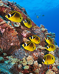 Raccoon Butterflyfish, Chaetodon lunula, at cleaning station, cleaned by Hawaiian Cleaner Wrasse - endemic species, Labroides phthirophagus, Kona, Big Island, Hawaii, Pacific Ocean