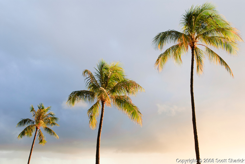 Three palm trees lit up by the sunset.