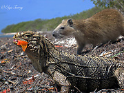The Cuban rock iguana (the Cuban ground iguana) is a large lizard and The Desmarest's hutia (the Cuban hutia) is the rodent endemic to Cuba.