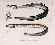 Argentine conger (Conger orbignianus) is a conger of the family Congridae. (Top) and Punctuated snake-eel (Ophichthus remiger, also known as the Common snake eel hand coloured sketch From the book 'Voyage dans l'Amérique Méridionale' [Journey to South America: (Brazil, the eastern republic of Uruguay, the Argentine Republic, Patagonia, the republic of Chile, the republic of Bolivia, the republic of Peru), executed during the years 1826 - 1833] Volume 5 Part 1 By: Orbigny, Alcide Dessalines d', d'Orbigny, 1802-1857; Montagne, Jean François Camille, 1784-1866; Martius, Karl Friedrich Philipp von, 1794-1868 Published Paris :Chez Pitois-Levrault. Publishes in Paris in 1847