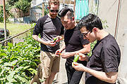 Queens, NY - 28 July 2019. Drew Shives, Amir Dholakia, and Matt Taber, partners in Beta, checking out fresh produce at Choy Division, a backyard farm in Astoria run by Christina Chan, and which specializes in Asian vegetables .