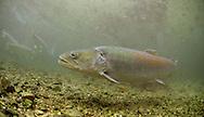 Huchen <br /> <br /> Paul Vecsei/Engbretson Underwater Photography
