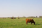 Vermilion Parish, Early Spring, Cows (3/2008)