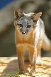 Channell Island Fox, Los Angeles Zoo