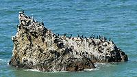 Pelagic Cormorant (Phalacrocorax pelagicus), Brown Pelican<br /> Pelecanus occidentalis. Northern Pacific Coast Highway, California. Image taken with a Nikon D200 camera and 80-400 mm lens.